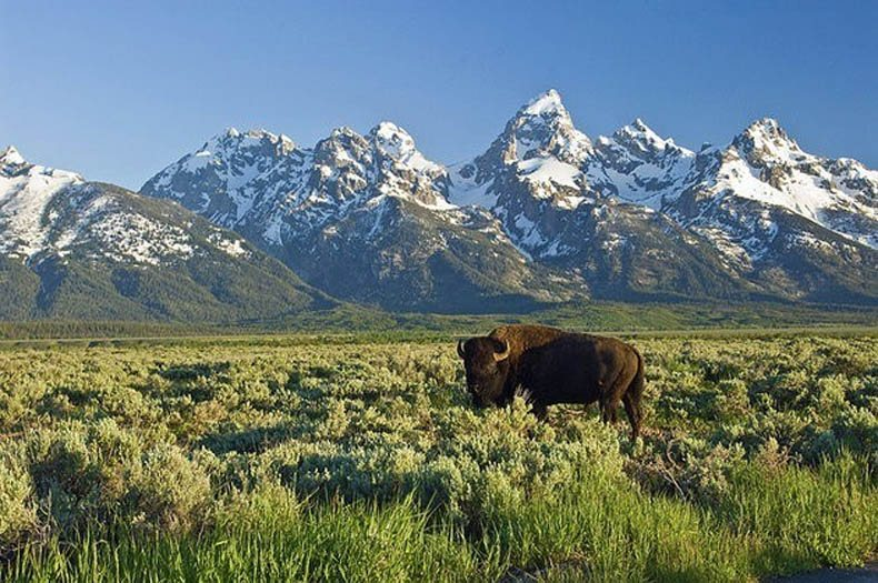 buffalo-grand-teton-national-park-dealsjh